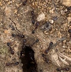 Monomorium sp. (genus) (A Monomorium ant) at Murrumbateman, NSW - 5 Feb 2021 by SimoneC