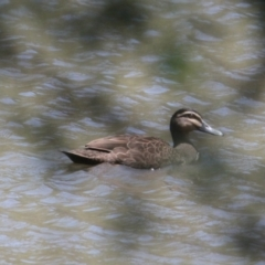 Anas superciliosa (Pacific Black Duck) at Mungabareena - 6 Feb 2021 by PaulF