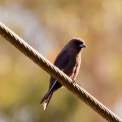 Artamus cyanopterus (Dusky Woodswallow) at suppressed - 2 Feb 2021 by LisaH
