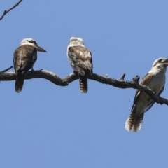 Dacelo novaeguineae (Laughing Kookaburra) at Acton, ACT - 9 Nov 2020 by AlisonMilton