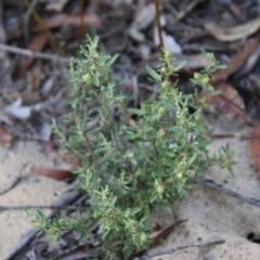 Hibbertia obtusifolia (TBC) at Moruya, NSW - 2 Feb 2021 by LisaH
