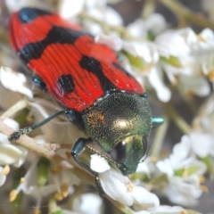 Castiarina delectabilis (A jewel beetle) at Wallaroo, NSW - 5 Feb 2021 by Harrisi