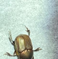 Onitis (genus) (Onitis dung beetle) at Majura, ACT - 6 Feb 2021 by Ghostbat