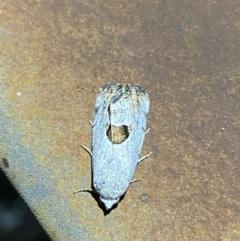 Armactica conchidia (Conchidia Moth) at Majura, ACT - 6 Feb 2021 by Ghostbat