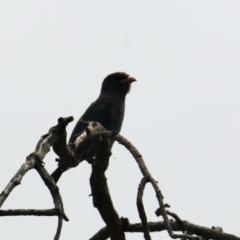 Eurystomus orientalis (Dollarbird) at Albury - 6 Feb 2021 by PaulF