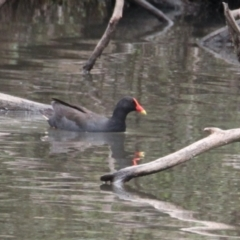 Gallinula tenebrosa (Dusky Moorhen) at Albury - 6 Feb 2021 by PaulF