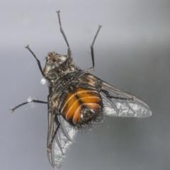 Rutilia (Donovanius) sp. (genus & subgenus) (A Bristle Fly) at Googong, NSW - 5 Feb 2021 by WHall