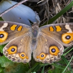 Junonia villida (Meadow Argus) at Googong, NSW - 6 Feb 2021 by WHall
