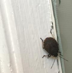 Platycoris rotundatus (A shield bug) at Hughes Garran Woodland - 7 Feb 2021 by Tapirlord