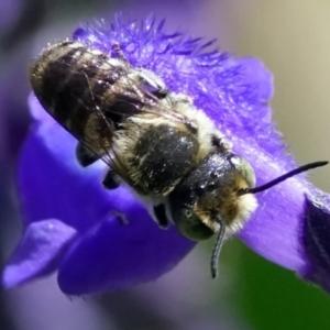 Megachile sp. (several subgenera) at Page, ACT - 7 Feb 2021