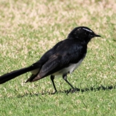 Rhipidura leucophrys (Willie Wagtail) at Kelly Park - 6 Feb 2021 by Kyliegw