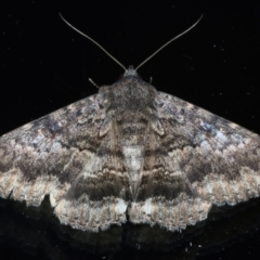 Eudesmeola lawsoni (Lawson's Night Moth) at Ainslie, ACT - 6 Feb 2021 by jbromilow50