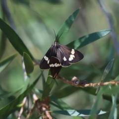 Nyctemera amicus (Senecio or Magpie moth) at Cook, ACT - 6 Feb 2021 by Tammy