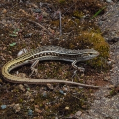 Ctenotus orientalis (Oriental Striped-skink) at Lower Molonglo - 7 Feb 2021 by BrianHerps