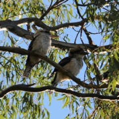 Dacelo novaeguineae (Laughing Kookaburra) at Albury - 7 Feb 2021 by PaulF