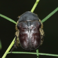 Unidentified Beetle (Coleoptera) (TBC) at Watson, ACT - 5 Feb 2021 by TimL