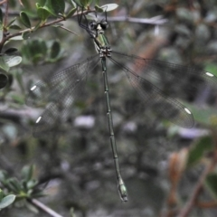 Synlestes weyersii (Bronze Needle) at Lower Cotter Catchment - 7 Feb 2021 by JohnBundock