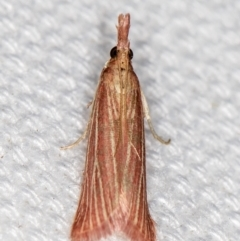 Lioprosopa rhodbaphella or nby species at Melba, ACT - 5 Feb 2021 by Bron