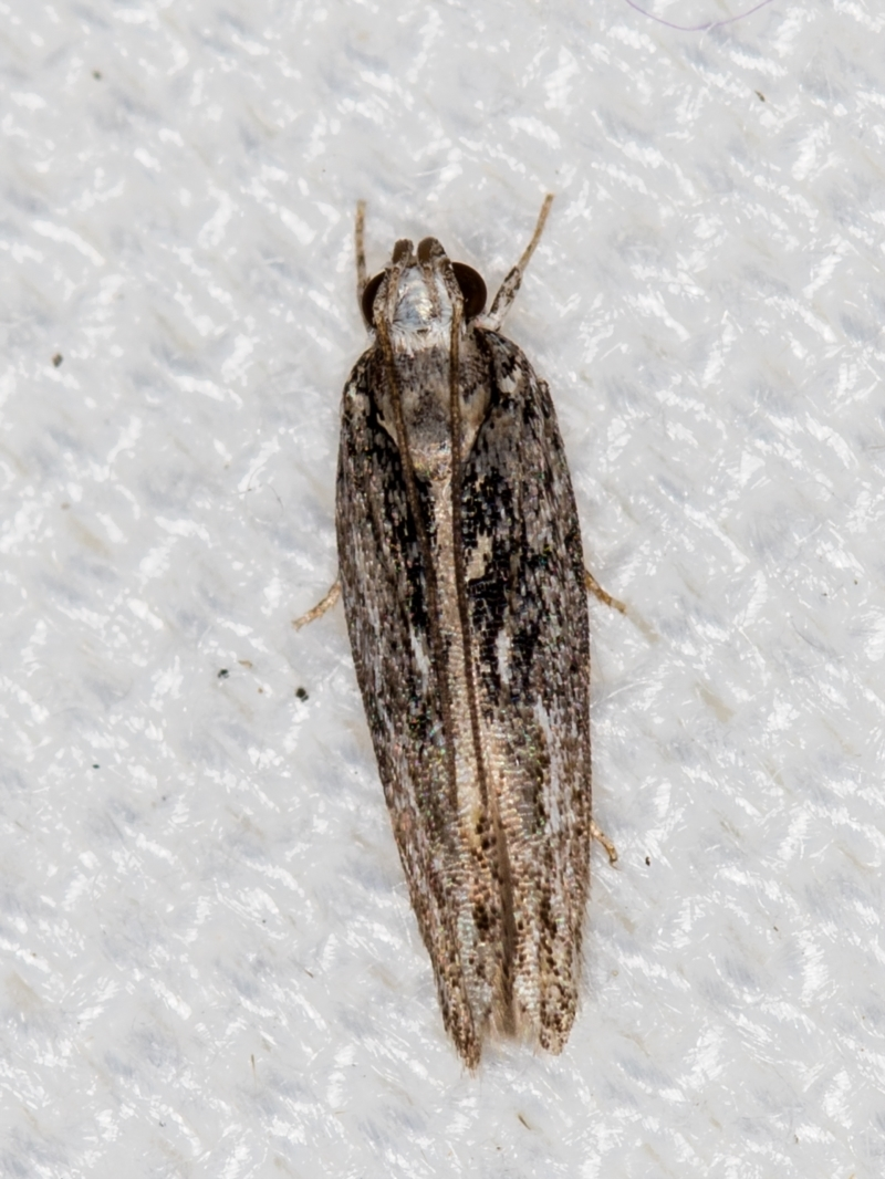 Ardozyga (genus) at Melba, ACT - 6 Feb 2021