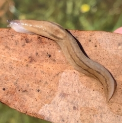 Ambigolimax nyctelia (Striped Field Slug) at Murrumbateman, NSW - 6 Feb 2021 by SimoneC