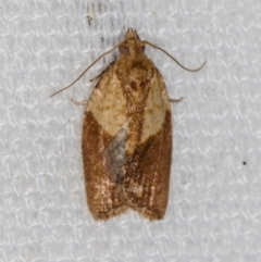 Epiphyas postvittana (Light Brown Apple Moth) at Melba, ACT - 6 Feb 2021 by Bron