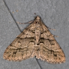 Lipogya eutheta (Grey Bark Moth) at Melba, ACT - 6 Feb 2021 by Bron