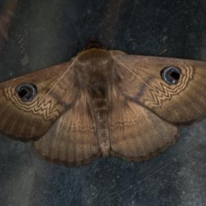 Dasypodia selenophora at Melba, ACT - 6 Feb 2021