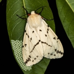 Spilosoma canescens (Light Ermine or Dark-spotted Tiger Moth) at Melba, ACT - 5 Feb 2021 by Bron