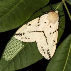 Spilosoma canescens at Melba, ACT - 6 Feb 2021