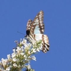 Graphium eurypylus (Pale triangle) at Hughes, ACT - 7 Feb 2021 by JackyF