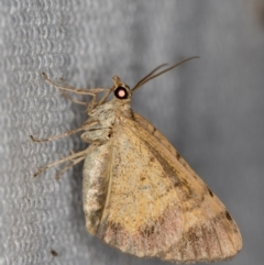 Larentiinae (subfamily) (A geometer moth) at Melba, ACT - 6 Feb 2021 by Bron