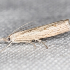 Culladia cuneiferellus (A crambid moth) at Melba, ACT - 6 Feb 2021 by Bron