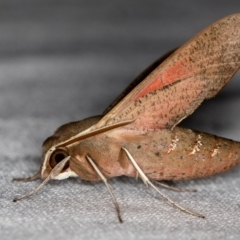 Hippotion scrofa (Coprosma Hawk Moth) at Melba, ACT - 6 Feb 2021 by Bron