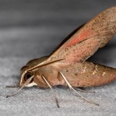 Hippotion scrofa (Coprosma Hawk Moth) at Melba, ACT - 6 Feb 2021 by Bron