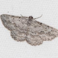 Didymoctenia exsuperata (Thick-lined Bark Moth) at Melba, ACT - 4 Feb 2021 by Bron