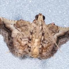 Scenedra decoratalis (A Pyralid moth) at Melba, ACT - 31 Jan 2021 by kasiaaus