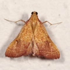 Endotricha pyrosalis (A Pyralid moth) at Melba, ACT - 31 Jan 2021 by kasiaaus