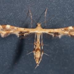 Sphenarches anisodactylus (Geranium Plume Moth) at Melba, ACT - 1 Feb 2021 by kasiaaus