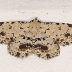 Sandava scitisignata (A noctuid moth) at Melba, ACT - 1 Feb 2021 by kasiaaus