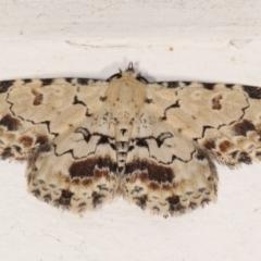 Sandava scitisignata (A noctuid moth) at Melba, ACT - 1 Feb 2021 by kasiaaus