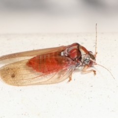 Unidentified Psyllid, lerp, aphid & whitefly (Hemiptera, several families) (TBC) at Melba, ACT - 1 Feb 2021 by kasiaaus