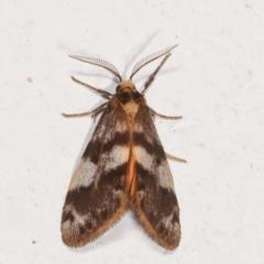 Anestia (genus) (A tiger moth) at Melba, ACT - 1 Feb 2021 by kasiaaus