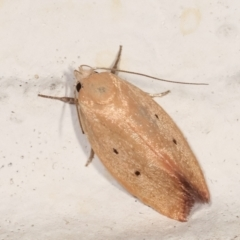 Acanthodela protophaes at Melba, ACT - 3 Feb 2021