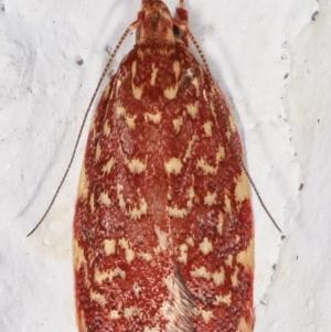 Syringoseca rhodoxantha at Melba, ACT - 2 Feb 2021