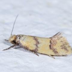 Psaroxantha calligenes (A concealer moth) at Melba, ACT - 2 Feb 2021 by kasiaaus