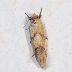 Psaroxantha calligenes at Melba, ACT - 2 Feb 2021