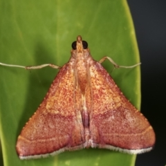 Endotricha pyrosalis (A Pyralid moth) at Melba, ACT - 2 Feb 2021 by kasiaaus