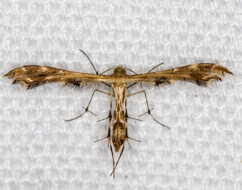 Sphenarches anisodactylus at Melba, ACT - 5 Feb 2021