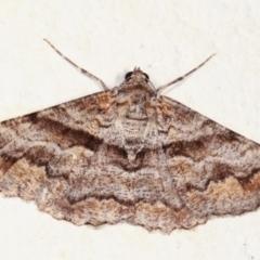 Gastrinodes bitaeniaria (Buff Bark Moth) at Melba, ACT - 2 Feb 2021 by kasiaaus