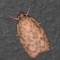 Garrha (genus) (A concealer moth) at Melba, ACT - 4 Feb 2021 by Bron